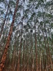 Floresta de Eucalipto a venda em Corinto MG