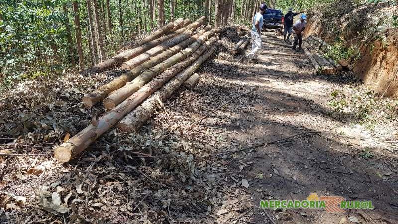 Vendo Floresta e toras de Eucalipto para produção de Pallets
