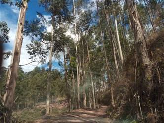 Vendo Floresta de Toras de  Eucalipto Urograndis em Pé Rio Preto MG