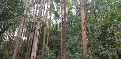 Vendo Floresta de Eucalipto em Pé para produção de pallets