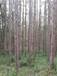 Floresta de Eucalipto a venda em Três Corações MG