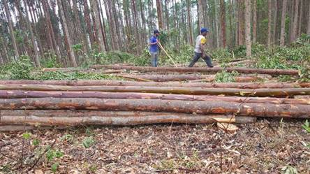 Toras de Eucalipto 7 metros a venda em Belo Horizonte