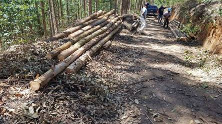 Toras de Eucalipto 8 metros a venda em Belo Horizonte