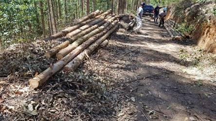 Toras de Eucalipto 9 metros a venda em Belo Horizonte Minas Gerais