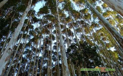 Vendo Floresta de Eucalipto Citriodora acima de 40 anos