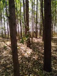 Floresta de Eucalipto de 100 ha a venda em Piumhi MG