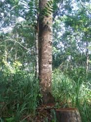Toras de Mogno Africano a Venda no Brasil
