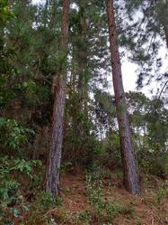 Vendo Floresta de Pinus em Minas Gerais