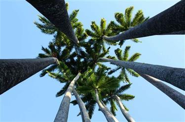 Mudas de Palmeira Imperial Belo Horizonte