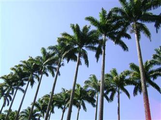Vende-se mudas palmeira imperial