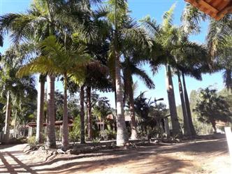 Palmeira Imperial Adulta em Belo Horizonte