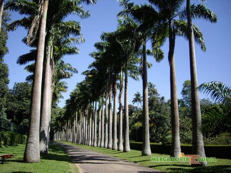 Palmeira Imperial em Belo Horizonte.