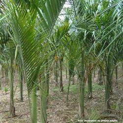 Palmeira Imperial a venda Belo Horizonte