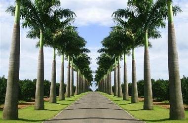 Vendas de Palmeira Imperial em Minas Gerais