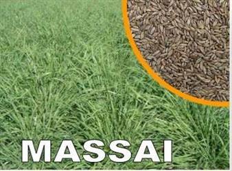 Vendo Semente de Capim Massai em Unaí